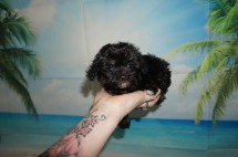 Pepper Male CKC Maltipoo $2000 Ready 9/3 SOLD MY NEW HOME JACKSONVILLE, FL13.3OZ 7W1D OLD