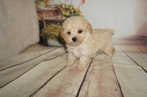 Syndey Male CKC Maltipoo $1750 Ready 8/20 SOLD MY NEW HOME IS IN STUDIO CITY, CA 1.7LBS 7WK OLD