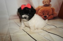Tiana Female CKC Shihpoo $1750 HAS DEPOSIT MY NEW HOME JACKSONVILLE, FL 1.4LBS 5W4D OLD