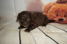Chocolate Chip Snickerdoodle Male CKC Shihpoo $2000 Ready 9/17 AVAILABLE 1.6LBS 3W3D OLD