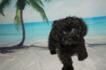 Diego Male CKC Maltipoo $1750 JUST DISCOUNTED NOW $1500 Ready 8/20 SOLD MY NEW HOME JACKSONVILLE, FL 2.3LB 9W OLD