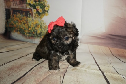 Royce Female CKC Malshipoo $1750 Ready 9/3 HAS HOLD! 1.4LBS 5WK OLD