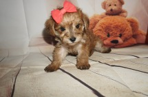 Sarabi Female CKC Schnoodle $2000 Ready 8/30 HAS DEPOSIT MY NEW HOME HILLIARD, FL 1.9LBS 5W4D OLD