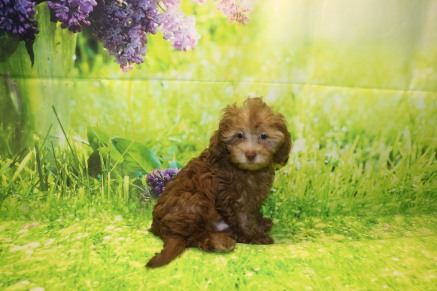 Cappuccino Male CKC Malshipoo $2000 JUST DISCOUNTED NOW $1500 Ready 8/20 AVAILABLE 3.4LB 11W OLD