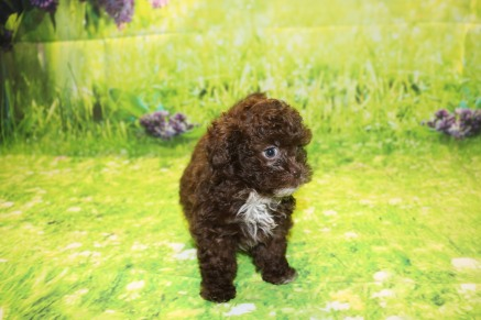 Chocolate Chip Male CKC Malshipoo $2000 Ready 9/17 AVAILABLE 2.3LB 7W3D OLD