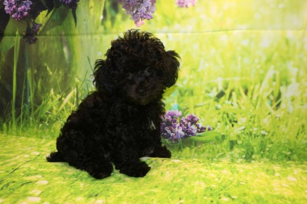 Coffee Female CKC Malshipoo $1750 JUST DISCOUNTED NOW $1500 Ready 8/20 SOLD MY NEW HOME COLUMBIA, SC 3.11LB 11W OLD