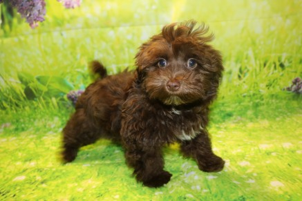 Davy Male CKC Havamalt $2000 WAIT PUPPY SPECIAL NOW $1750 Ready 8/15 AVAILABLE 3.3lb 11W5D Old