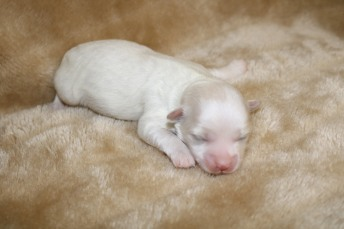 Ghost Male CKC Maltipoo $1750 Ready 11/8 AVAILABLE 9 oz 5 Days Old