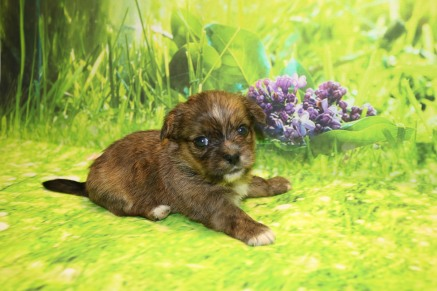 London Female CKC Shorkie $1750 Ready 10/10 AVAILABLE 1.4LB 4W OLD