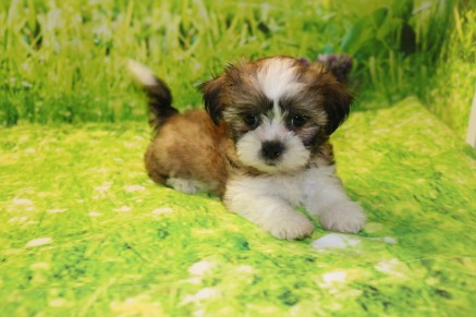 LUCKY Male CKC Havashu $2000 Ready 9/6 SOLD MY NEW HOME OXFORD, FL 2LB 8W4D OLD