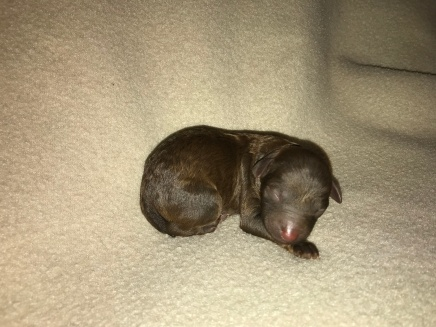 Marlin Male CKC Maltipoo $2000 Ready 11/2 AVAILABLE 5 oz 4 HRS OLD