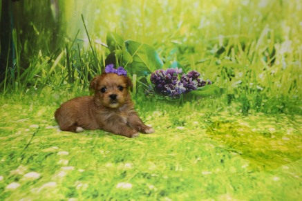 Paris (Brooklyn) Female CKC Shorkie $1750 Ready 10/10 HAS DEPOSIT 1.3LB 4W OLD