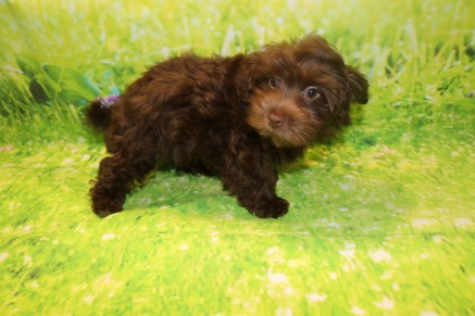 Peter Male CKC Havamalt $2000 WAIT PUPPY SPECIAL NOW $1500 Ready 8/15 AVAILABLE 3.11lb 11W5D Old
