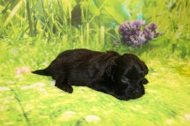 Pippi Female CKC Havapoo $1750 Ready 10/12 HAS DEPOSIT MY NEW HOME GAINESVILLE, FL 15OZ 3W3D OLD