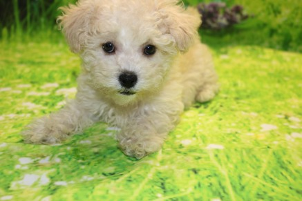 Prince Naueen Male CKC Shihpoo $1750 WAIT PUPPY SPECIAL NOW $1500 Ready 8/30 AVAILABLE 3.3LB 9W5D OLD