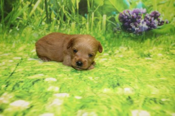 Pumpkin Male CKC Morkipoo $2000 Ready 10/22 AVAILABLE 15.2 oz 2W2D Old