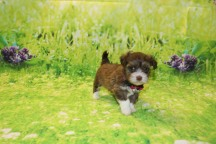 Reagan Female Havanese $2000 Ready 9/24 SOLD MY NEW HOME Myrtle Beach, SC 1.2LB 6W OLD