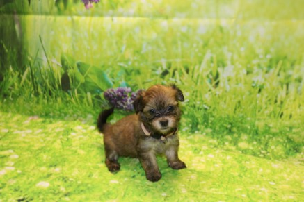 Ritz Female Havanese $1750 Ready 9/24 SOLD MY NEW HOME MERRITT ISLAND, FL 1.6LB 6W OLD