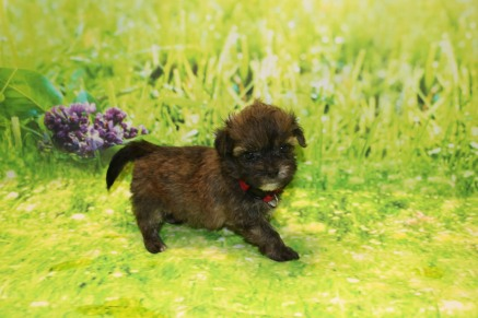 Roo Male Havanese $2000 Ready 9/24 SOLD MY NEW HOME ST AUGUSTINE, FL 1.3LB 6W OLD