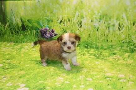 Rosie Female Havanese $2000 Ready 9/24 SOLD MY NEW HOME JACKSONVILLE, FL 1.2LB 6W OLD