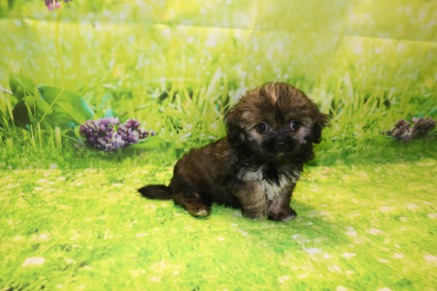 Royce Female CKC Malshipoo $1750 Ready 9/3 SOLD! MY NEW HOME LAKE CITY, FL 2.1LB 8W6D OLD