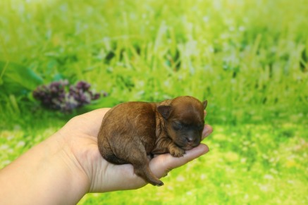 Roz Female CKC Shihpoo $1750 Ready 11/5 AVAILABLE 5.5 oz 6 Hours Old