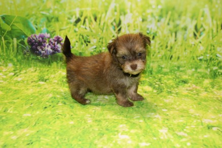 Rudy Male Havanese $2000 Ready 9/24 SOLD MY NEW HOME PALM COAST, FL 1.4LB 6WKS OLD