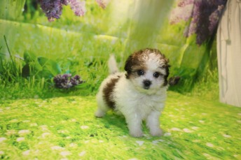 Snickerdoodle Male CKC Shihpoo $2000 Ready 9/17 AVAILABLE 1.12LB 7W3D OLD