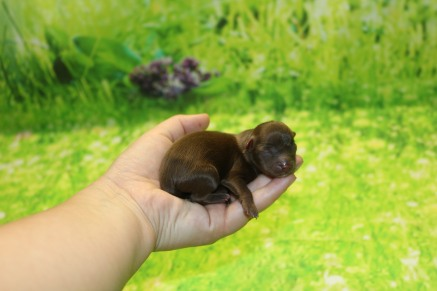 Stitch Male CKC Malshipoo $2000 Ready 11/5 AVAILABLE 4.4 oz 1 Day Old