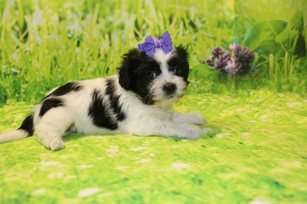 Tilly Female CKC Havashu $1750 SOLD! MY NEW HOME PONTE VEDRA, FL 9/27 2.1LB 5W3D OLD
