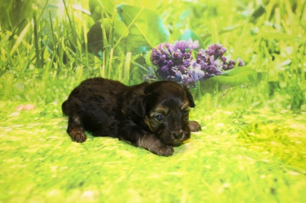 Tommy Male CKC Havapoo $1750 Ready 10/12 AVAILABLE 1.1LB 3W3D OLD
