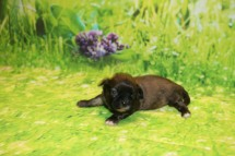 Buttons Male CKC Shihpoo $1750 Ready 10/24 AVAILABLE 11.7 oz 2 Weeks Old