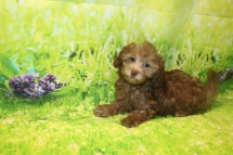 Cappuccino Male CKC Malshipoo $2000 WAIT PUPPY SPECIAL NOW $1500 Ready 8/20 AVAILABLE 3.4LB 11W OLD