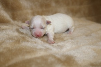 Casper Male CKC Maltipoo $1750 Ready 11/8 AVAILABLE 8 oz 5 Days Old