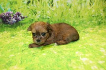 China Female CKC Shorkie $1750 Ready 10/10 AVAILABLE 1.3LB 4W OLD