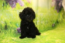 Coffee Female CKC Malshipoo $1750 J Ready 8/20 SOLD MY NEW HOME COLUMBIA, SC 3.11LB 11W OLD
