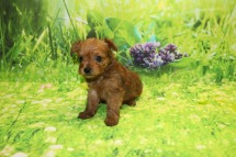 Jefferson Male CKC Yorkipoo $2000 Ready 10/3 AVAILABLE 1.2LB 5W OLD