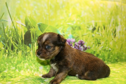 Kona Male CKC Shorkie $1750 Ready 10/10 AVAILABLE 1.8LB 4W OLD