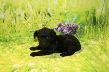 Mulligan Male CKC Yorkipoo $1750 Ready 10/3 AVAILABLE 1LB 5W OLD