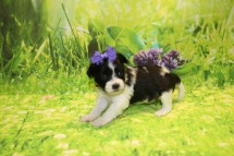 Pip Female CKC Miki $2000 Ready 10/12 AVAILABLE 1.2LB 3W4D OLD