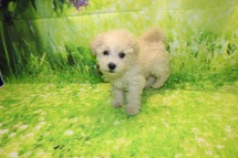 Prince Naueen Male CKC Shihpoo $1750 Ready 8/30 AVAILABLE 3.3LB 9W5D OLD
