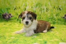 Raven (Lacey) Female Havanese $1750 Ready 9/24 HAS DEPOSIT MY NEW HOME PONTE VEDRA, FL 1.15LB 6W OLD