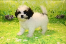 Ray Male CKC Shihpoo $1750 WAIT PUPPY SPECIAL NOW $1500 Ready 8/30 AVAILABLE 2.5LB 9W5D OLD