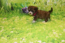 Reagan Female Havanese $2000 Ready 9/24 AVAILABLE 1.2LB 6W OLD