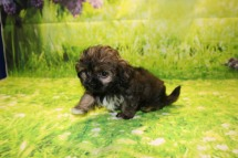 Royce Female CKC Malshipoo $1750 Ready 9/3 SOLD MY NEW HOME LAKE CITY, FL 2.1LB 8W6D OLD