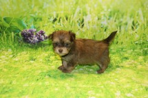 Rudy Male Havanese $2000 Ready 9/24 SOLD MT NEW HOME PALM COAST, FL 1.4LB 6WKS OLD