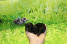 Sullivan Male CKC Shihpoo $1750 Ready 11/5 AVAILABLE 2.7 oz 8 Hours Old