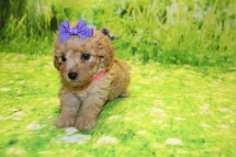 Summer Female CKC Mini Labradoodle $2000 Ready 9/30 AVAILABLE 1.4LB 5W3D OLD