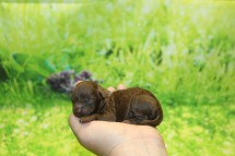 Wendy Female CKC Malshipoo $2000 Ready 11/5 AVAILABLE 5.5 oz 1 Day Old