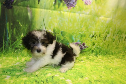 Pickles Female CKC Maltipoo $1750 But wait JUST DISCOUNTED NOW $1500 Ready 9/3 SOLD MY NEW HOME IS ORLANDO, FL 2.4LB 9W OLD
